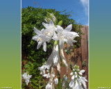 Wet White Flowers by PhotoKandi, Photography->Flowers gallery