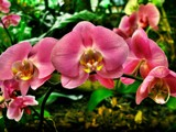 orchids by gaeljet2, Photography->Flowers gallery