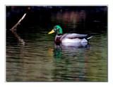 Mallard 7 by gerryp, Photography->Birds gallery
