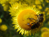 Pollen Pet by dmk, Photography->Insects/Spiders gallery