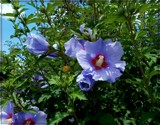 Blue Rose of Sharon by trixxie17, photography->flowers gallery
