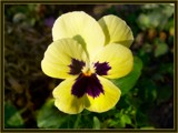 Pansy by LynEve, Photography->Flowers gallery