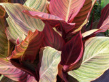 Comin' Closer to Canna by muggsy, Photography->Flowers gallery
