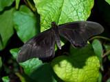 Bat-terfly by rawtsn, Photography->Butterflies gallery