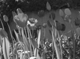 Swiss Tulips by tadurham, Photography->Flowers gallery