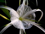 Spider Lily by neez, photography->flowers gallery