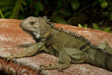 Iguana by paarl002, Photography->Animals gallery