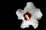 White Rose of Sharon by BrandyAdams77, Photography->Flowers gallery