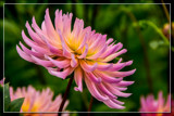 Dahlia Show 06 by corngrowth, photography->flowers gallery