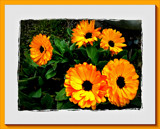 Marigold Canvas. by LynEve, Photography->Flowers gallery