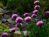 Chives by Paul_Gerritsen, Photography->Flowers gallery