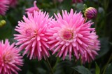 In The Dahlia Garden #13 Pink Profusion by LynEve, photography->flowers gallery