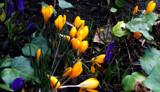 Let's Hear It For The Crocus! by braces, photography->flowers gallery