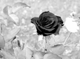 A Rose Must Remain...... by snapshooter87, contests->b/w challenge gallery
