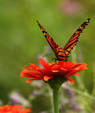 Butterfly Orange by tigger3, photography->butterflies gallery
