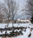 Lots of Ducks by Eubeen, photography->birds gallery