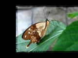 Fanciful Flapper III by Hottrockin, Photography->Butterflies gallery