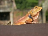 Lizard lounging... by hermanlam, Photography->Animals gallery