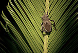 Pentatomidae (Stink Bug) by Fifthbeatle, photography->insects/spiders gallery