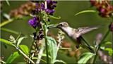 Calendar Hummer by tigger3, photography->birds gallery