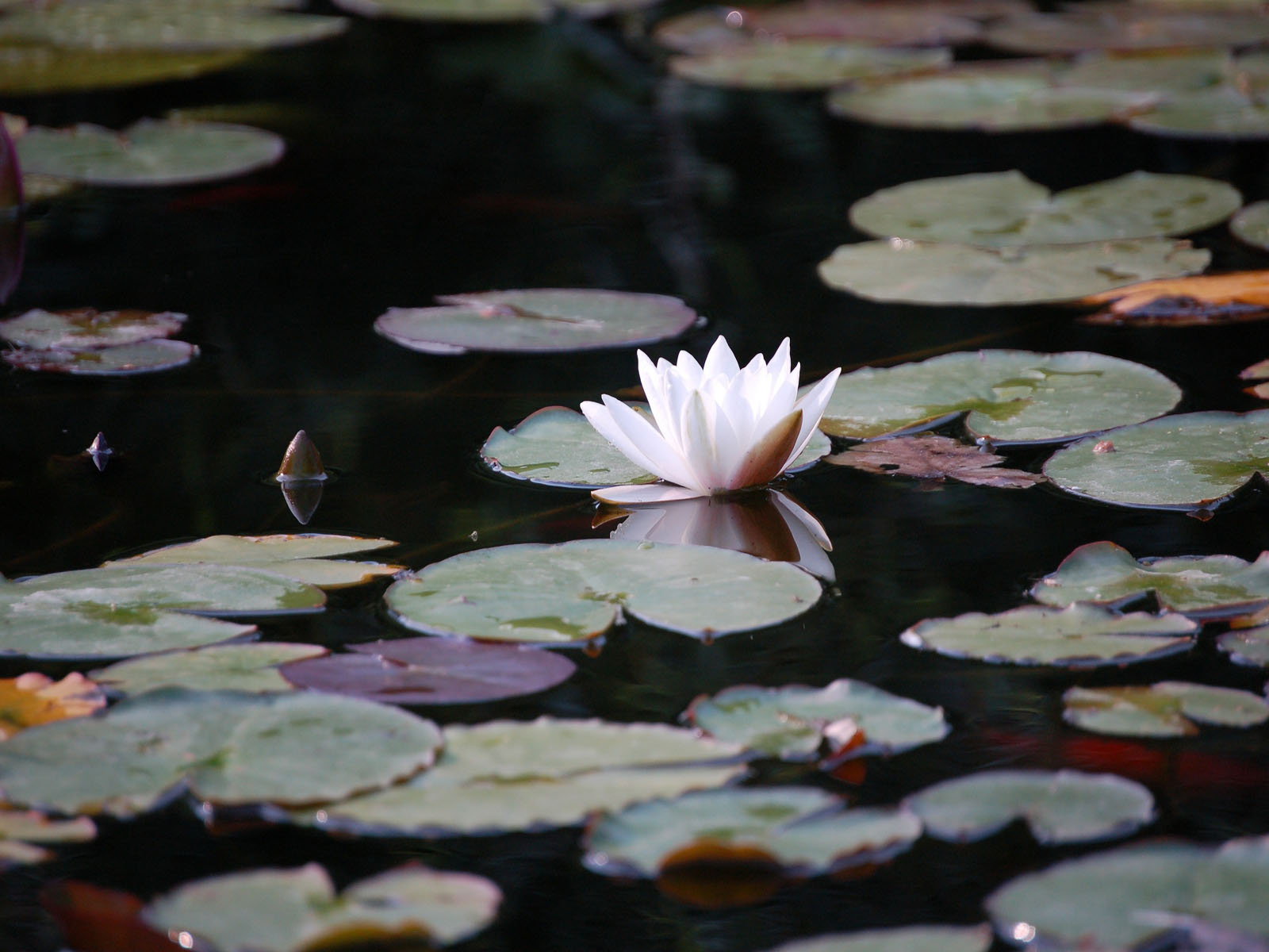 Water Lilies 2 by gerryp, Photography->Flowers gallery