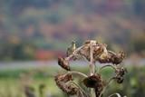 Sunflower Goldfinch by richwn, Photography->Birds gallery