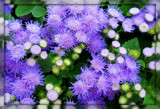 Ageratum by trixxie17, photography->flowers gallery