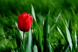 red tulip in a sea of green by solita17, Photography->Flowers gallery