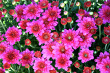 Mums the Word by photoeye68, photography->flowers gallery