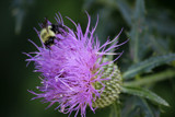 Future Thistle Honey by Pistos, photography->insects/spiders gallery