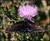 Papilio polyxenes by tigger3, photography->butterflies gallery