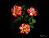 Simplistic Beauty Beheld Times Three by Roseman_Stan, photography->flowers gallery