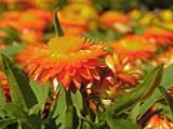 Strawflowers by trixxie17, photography->flowers gallery