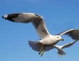 Gulls in flight by woodsy, Photography->Birds gallery