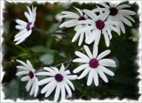 White Cineraria by LynEve, photography->flowers gallery