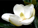 magnolia grandiflora 4 by jeenie11, Photography->Flowers gallery