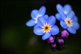 Forget-me-nots by LynEve, photography->flowers gallery