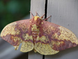 Imperial Moth at Big Canoe, GA by dusa1947, Photography->Butterflies gallery