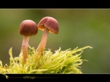 siblings by kodo34, Photography->Mushrooms gallery