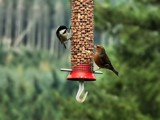 Feeder by WTFlack, photography->birds gallery
