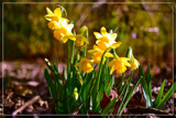 F² Mini-Daffodils by corngrowth, photography->flowers gallery