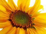 Sunflower by jeffpratt, Photography->Flowers gallery