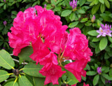 Pink Rhododendron 2 by moongirl, Photography->Flowers gallery
