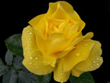 Citrus Shades 3 - Yellow Rose by LynEve, Photography->Flowers gallery