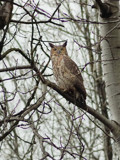 Mother Great Horned Owl by gerryp, Photography->Birds gallery