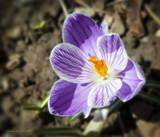 Crocus - First Sign of Spring by nmsmith, photography->flowers gallery