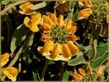 Sticky Jerusalem Sage by trixxie17, photography->flowers gallery