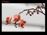 orchid in red by kodo34, Photography->Flowers gallery