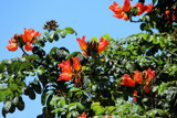 African Tulip Tree by Pistos, photography->flowers gallery
