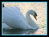 SWAN by Corconia, Photography->Birds gallery